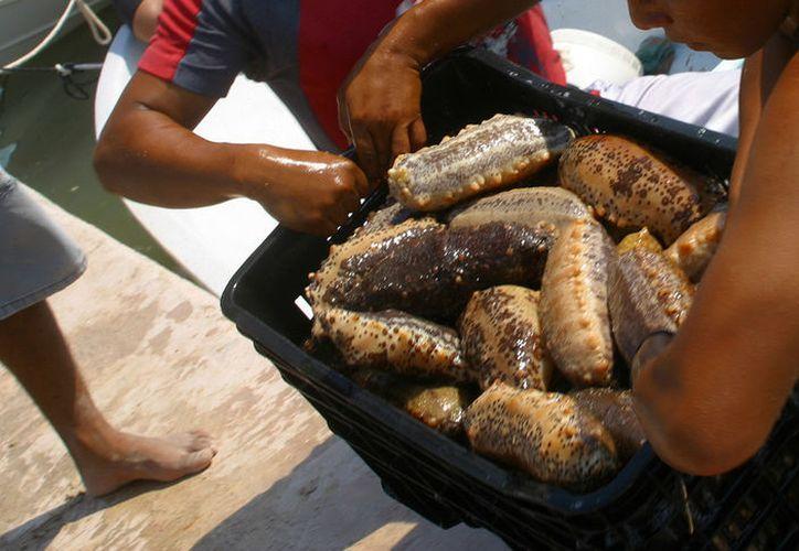La pesca del pepino de mar es una actividad que deja elevadas ganancias a pescadores yucatecos, pero el precio que pagan es muy alto: ya van dos muertos. (Archivo/SIPSE)