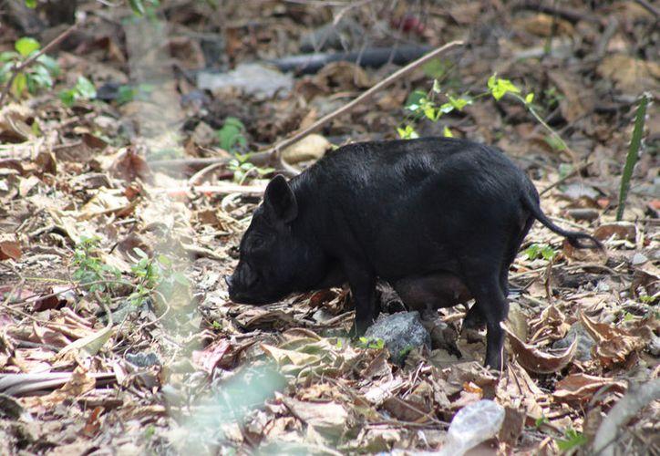 Estos cerdos asiáticos llegaron a la isla hace dos años. (Gustavo Villegas/ SIPSE)