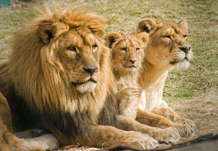 El león, lobo etíope, el lobo rojo, tigre, perro salvaje africano y el guepardo han perdido el 90% de su hábitat. (Foto: Contexto/Internet)
