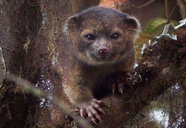 """El descubrimiento de la nueva especie de carnívoro, el """"olinguito"""", un pariente de los mapaches. (Notimex)"""