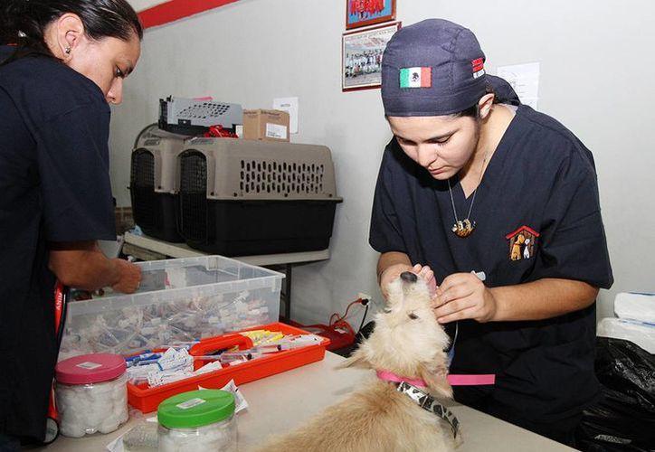 Ayer inició la campaña de esterilización gratuita de perros y gatos en Cozumel. (Redacción/SIPSE)