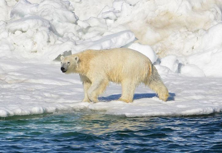 Foto de archivo del 15 de junio de 2014, de un oso polar en el mar de Chukchi en Alaska. (Foto: Brian Battaile/Servicio Geológico Federal de Estados Unidos vía AP, Archivo)