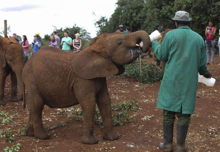 Una cría de elefante, huérfana a causa de la caza furtiva, toma el biberón en un refugio pionero en Nairobi. (EFE)
