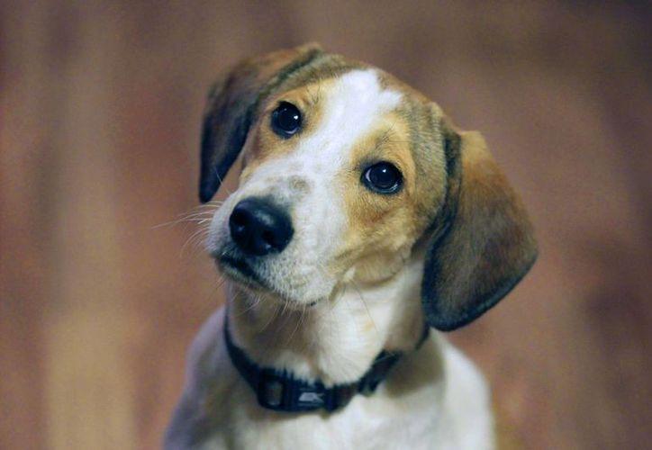 La historia del beagle Daniel impulsó la creación de leyes de protección animal en 31 estados norteamericanos. (Agencias)