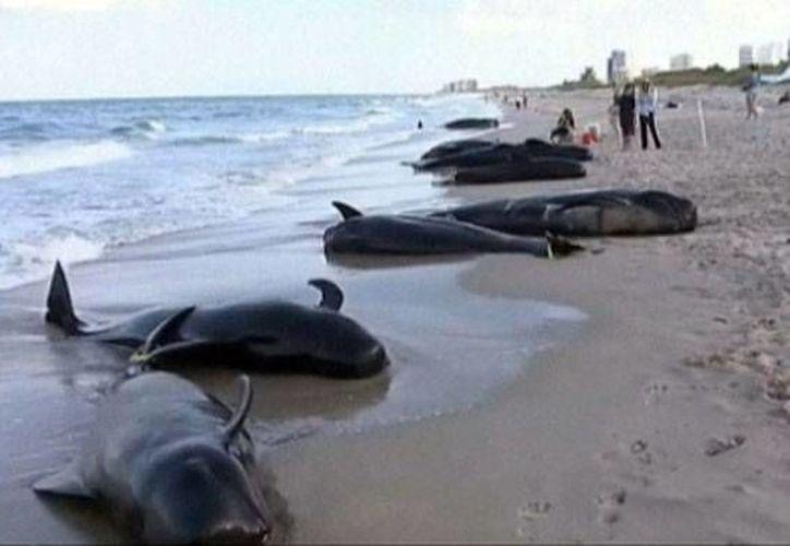 Hasta el momento han recalado un total de 33 ballenas piloto en costas de Florida. (CNN)