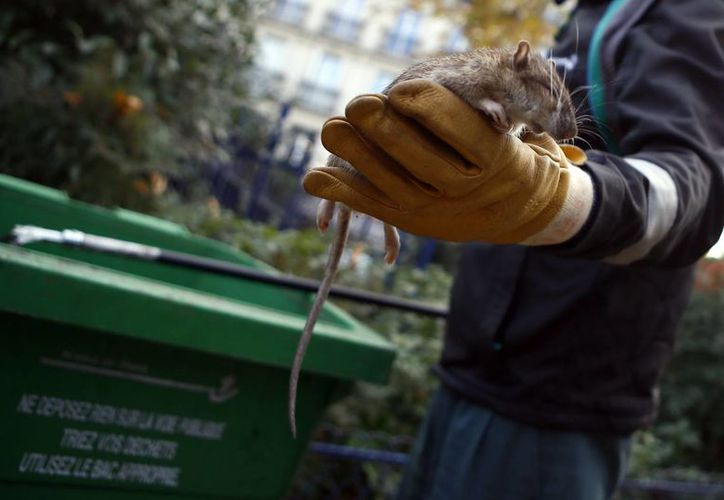 Un empleado municipal de París muestra una rata muerta en el parque de la Torre de Saint Jacques, en el centro de la ciudad (AP/Francois Mori)