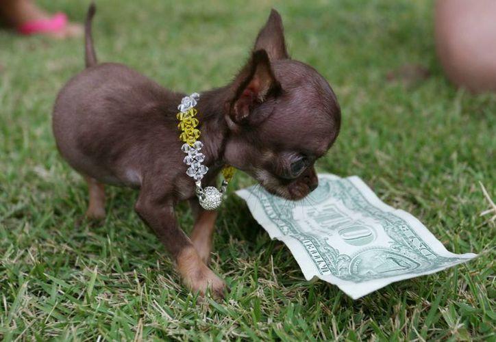 Milly es el perro más pequeño del mundo, en términos de altura (no de peso). (EFE)