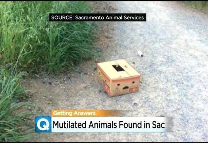 En esta semana se hallaron dos pollos decapitados en una caja, donde también había dólares ensangrentados. (CBS-Sacramento)