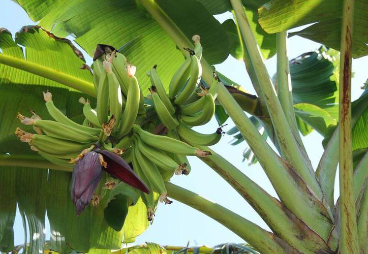 Algunos plantíos de plátano en el municipio de Bacalar tienen la plaga de 'El Moko'. (Javier Ortiz/SIPSE)