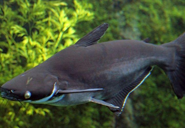 Escaparon ejemplares de pangasio, especie considerada altamente invasora. (Foto: Contexto/Internet)