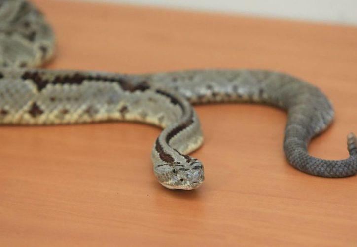 La SSY atendió el caso de un menor de 9 años atacado por una serpiente de cascabel. El pequeño recibió 85 dosis de antídoto, el mayor número de aplicaciones que se haya registrado. (Mauricio Palos/SIPSE)