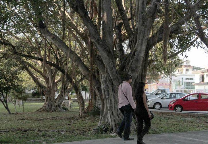 Los árboles tienen un alto valor para el planeta. (Tomás Álvarez/SIPSE)