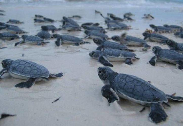 La campaña provee mecanismos para asegurar la preservación de la especie. (Sergio Orozco/SIPSE)