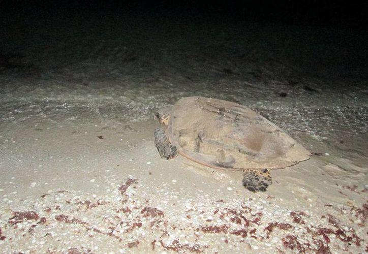 La vigilancia para detectar nidos de tortugas es permanente en la costa yucateca. (SIPSE)