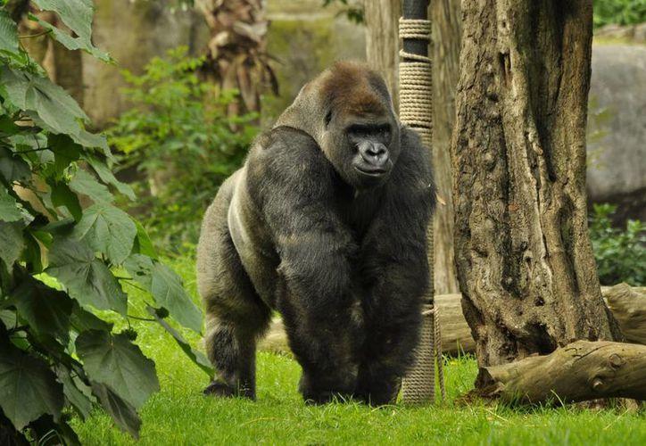 Los detalles de la necropsia del gorila Bantú se harán públicos en cuanto sean entregados. (Archivo/Notimex)