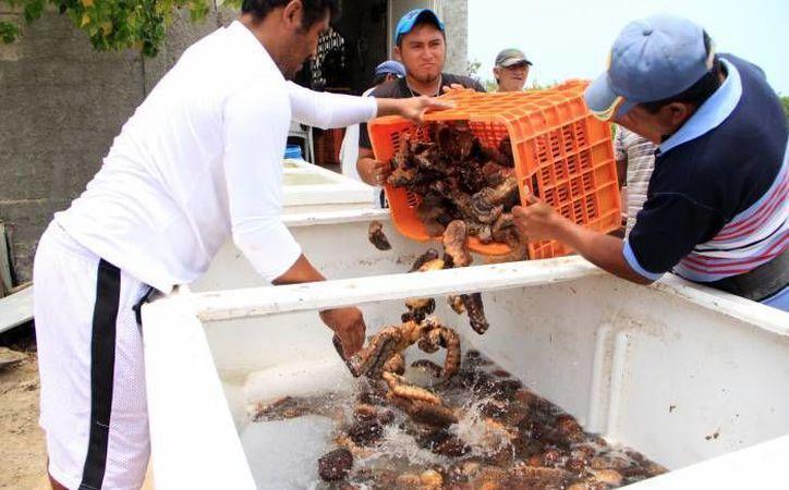 La pesca clandestina de pepino de mar juvenil es un problema cada vez más recurrente en Yucatán. (SIPSE)