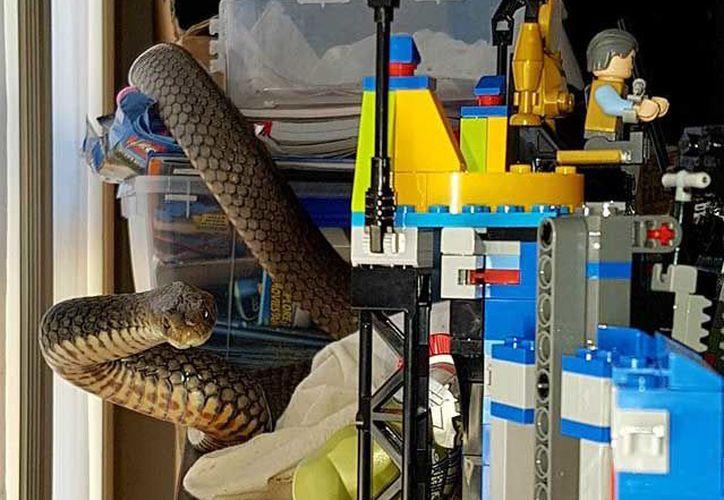 La marrón oriental es el segundo tipo de serpiente más venenosa del mundo.(Facebook)