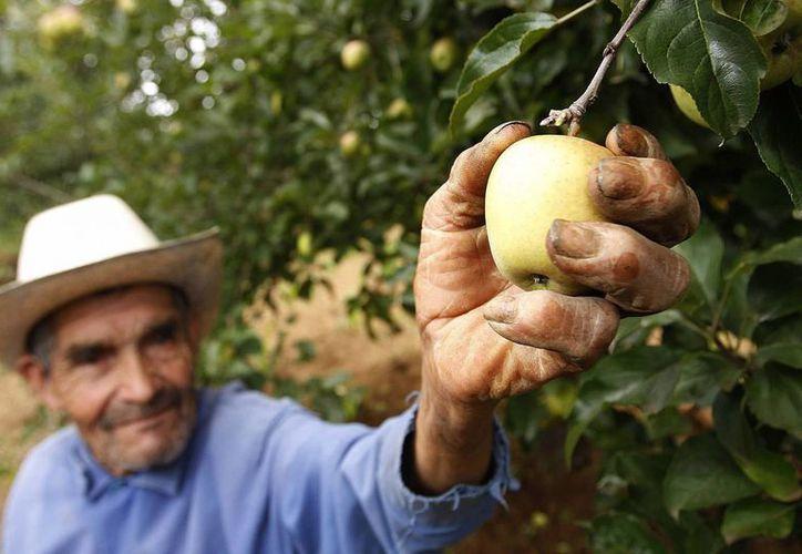 Los productores mexicanos gastan siete dólares solamente en el empacado de la manzana. (Archivo/Notimex)
