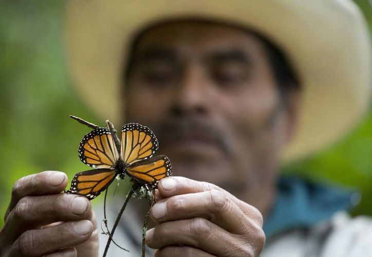 Fotografía de un guía sosteniendo una maripoa monarca moribunda en una reserva para este tipo de insecto en Piedra Herrada, México. (AP/Rebecca Blackwell)