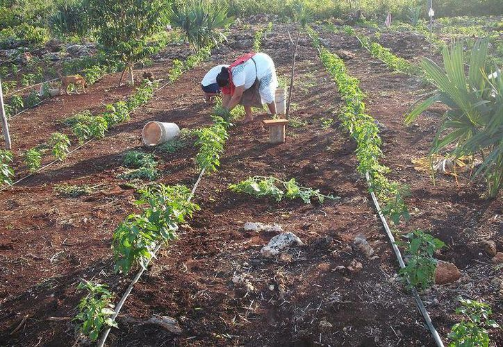 Los productos cosechados presentan una especie de hongo que impide su comercialización. (Manuel Salazar/SIPSE)