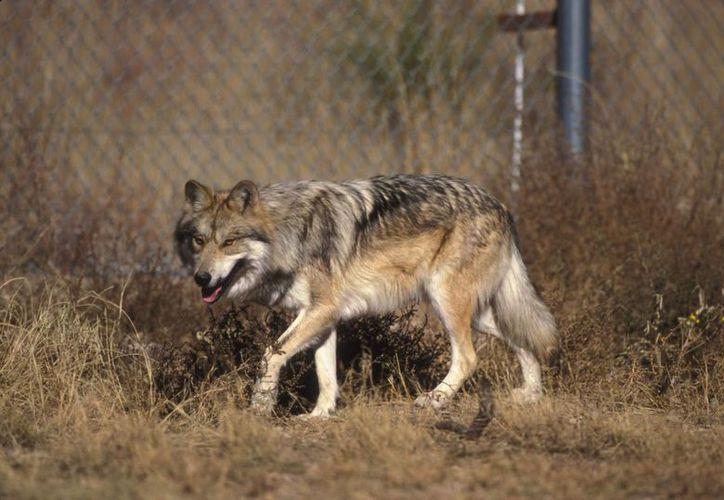 El Canis lupus baileyi es en realidad una subespecie de lobo. (Wikipedia)