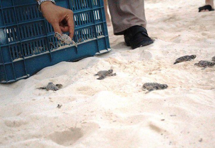El lunes eclosionaron 84 tortuguitas en los arenales de Xcalacoco. (Octavio Martínez/SIPSE)