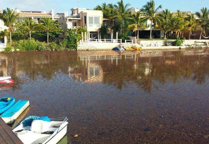 Según vecinos de la zona, el sargazo se acumuló a causa de la obra realizada por un hotel. (Adrián Barreto/SIPSE)