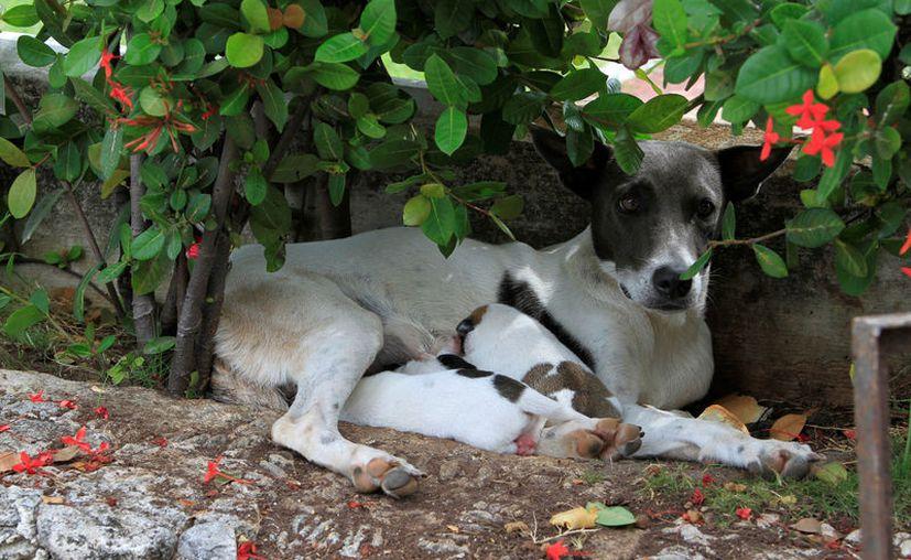 Roedores, ratones, agutí, felinos, canes o venados, entre otros, pueden ser portadores de las lavas. (Foto: Ángel Castilla/SIPSE)