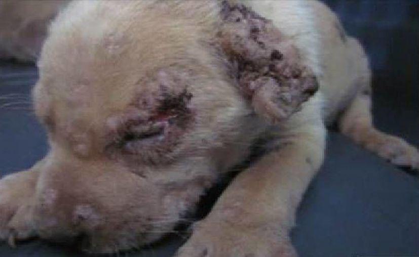 Uno de los callejeritos resultó con afectaciones en una de sus orejas. (Facebook)