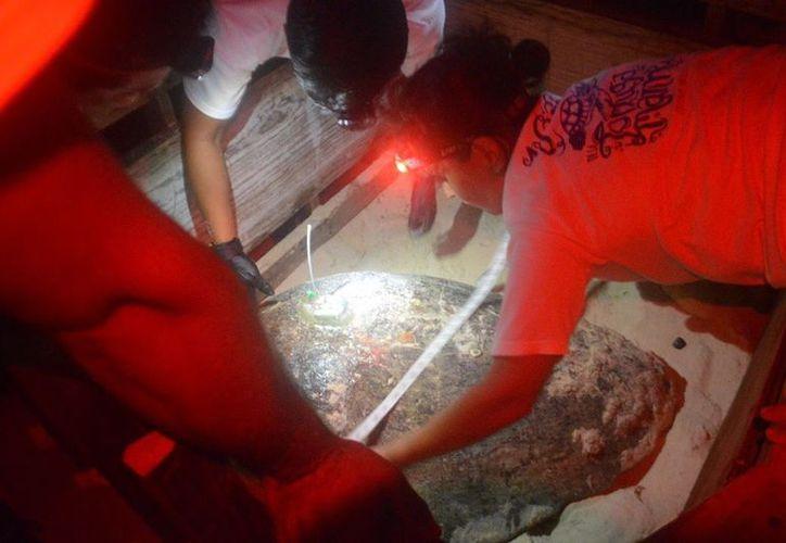 Vía satelital se estará monitoreando el desplazamiento de cada una de las tortugas en Cozumel. (Facebook)