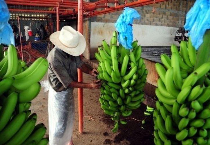 Un anciano limpia un racimo de plátano en una finca de Teapa, zona serrana de Tabasco, en México, uno de los países beneficiados con el fin del conflicto. (Archivo/Notimex)