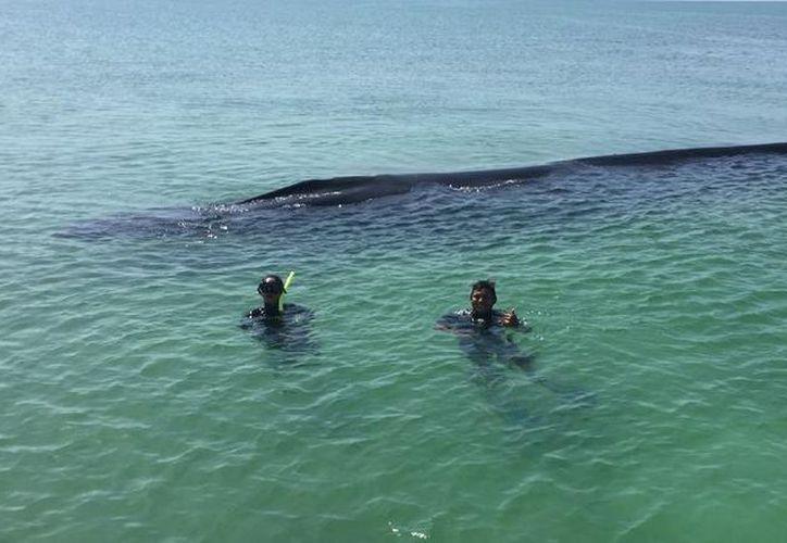 Una ballena rorcual fue rescatada luego de haber quedado varada en aguas de Isla Contoy. (Cortesía)
