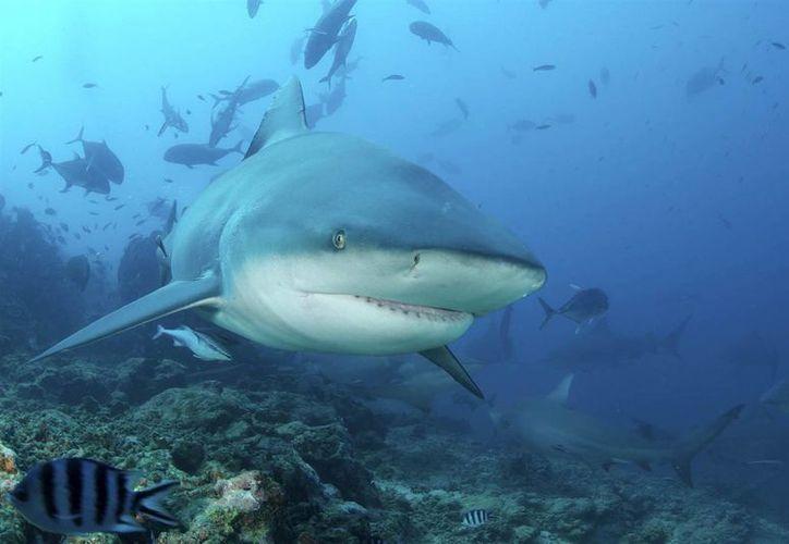 En lo que va del año, se han registrado once ataques de tiburón en las costas de las Carolinas. (Archivo/AP)