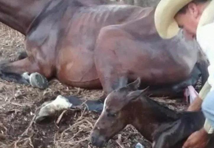 El ayuntamiento de Guadalajara combate el uso de caballos para jalar calandrias al considerarlo maltrato animal. (Foto: Twitter)