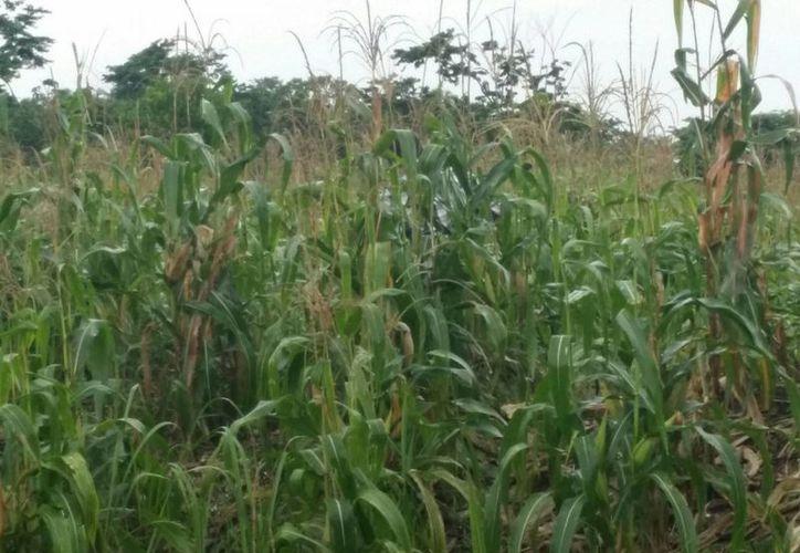 Los agricultores manifiestan que los mil pesos obtenidos por dos hectáreas reportadas no alcanzan para volver a sembrar las tierras. (Edgardo Rodríguez/SIPSE)
