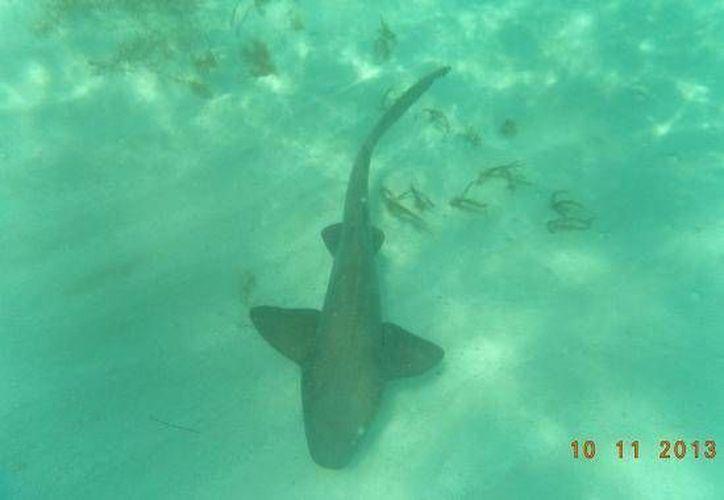 El tiburón gata es una especie de escualo poco agresiva. (SIPSE)