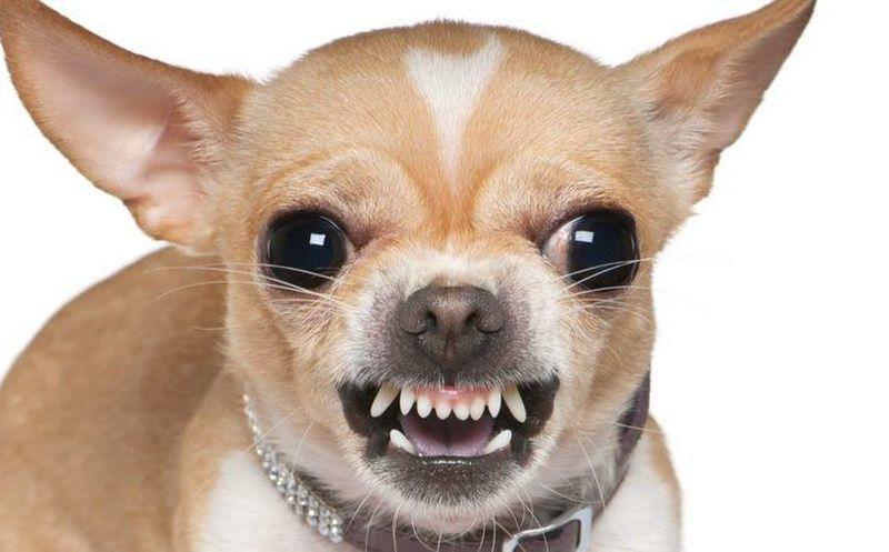 Estudio Coloca Al Perro Chihuahua Como La Raza Más Agresiva