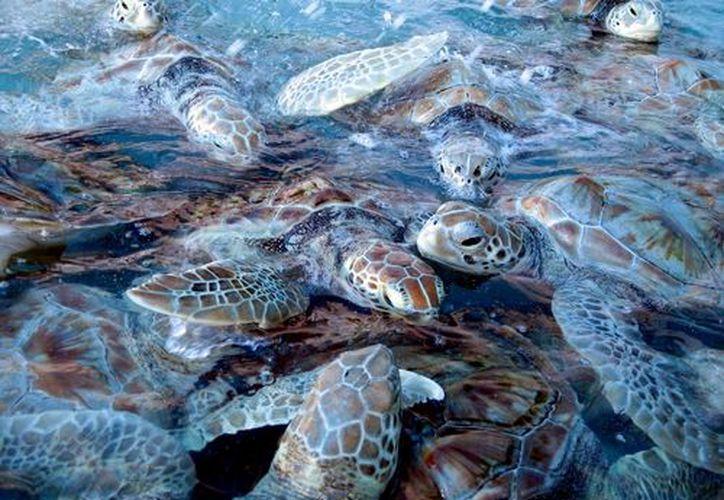 Se realiza el programa de conservación de tortugas en Q. Roo. (Redacción)