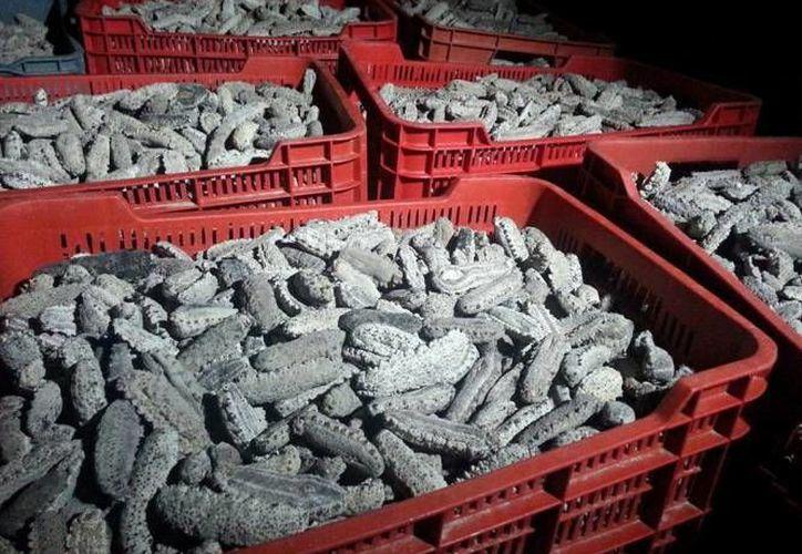 Los operativos de aseguramiento de pepino de mar clandestino en Yucatán son mínimos si se compara con lo que generan los responsables, considera el sector pesquero. (Foto de contexto de SIPSE)