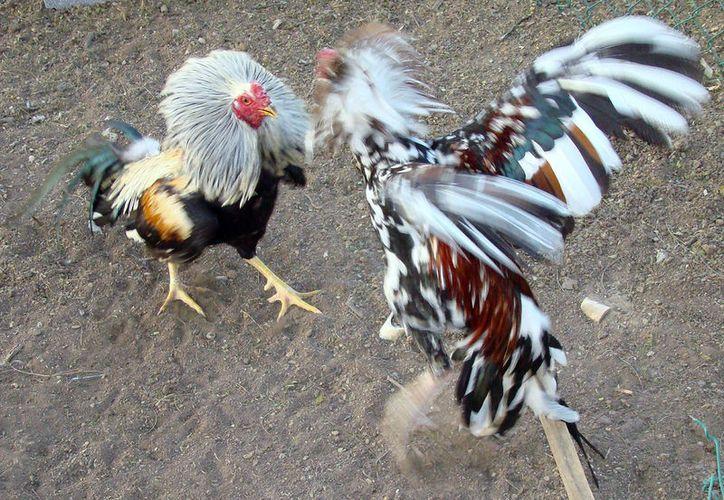 El legislador asegura que las peleas de gallos  son una industria que genera derrama económica y empleos, además de una tradición. (flickriver.com)