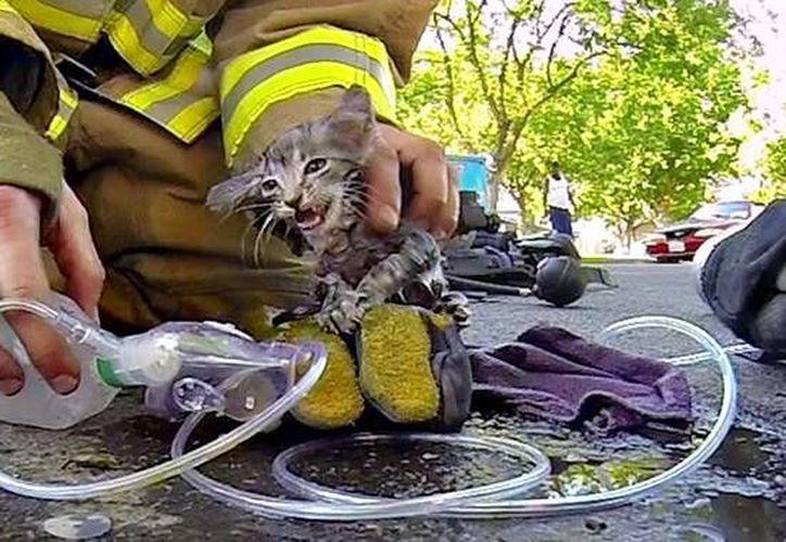 Momento en que el bombero Cory Kalanick brinda primeros auxilios al pequeño gato. (YouTube)