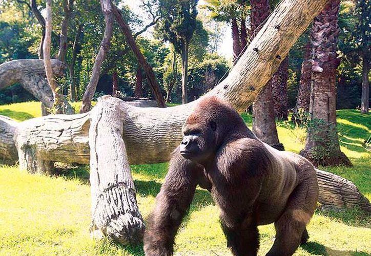 Bantú nació en Chapultepec en 1991 e iba a ser trasladado a Guadalajara para acloparse con dos hembras de gorila. (Excelsior)