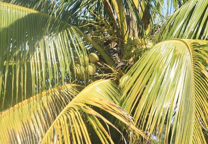 En el componente agrícola se puede registrar una gama de ramos de producción como  son piña, palma de coco, stevia y ramón, entre otros. (Harold Alcocer/SIPSE)