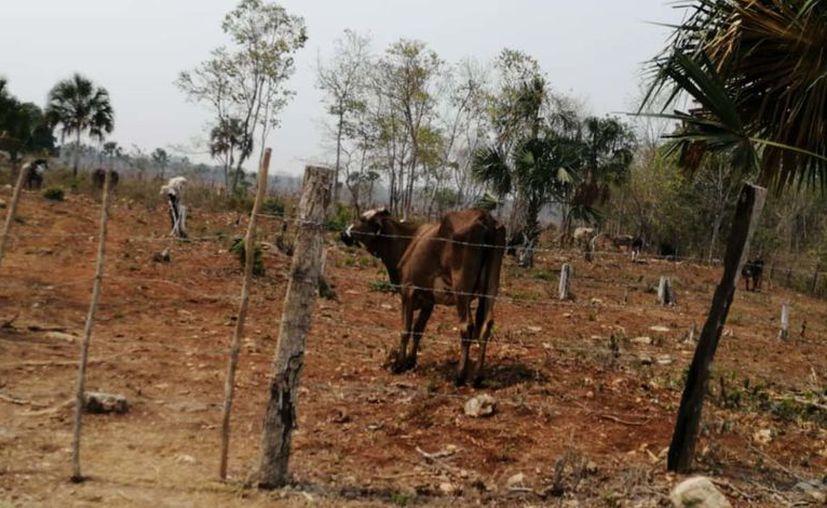 La Unión Ganadera Regional de Quintana Roo, indicó que en 2019 se perdieron 75 mil hectáreas de pasto por falta de lluvia y de apoyos. [Foto: C. Castillo]