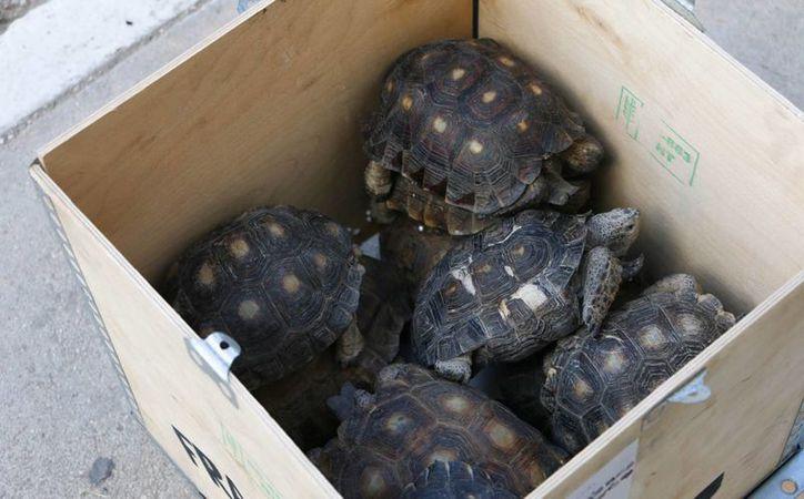 Las 11 tortugas silvestres aseguradas por la SSP este jueves en una empresa de paquetería en Mérida provenían de Monterrey. (Foto cortesía)