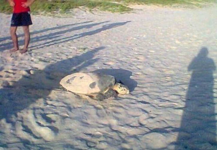 La tortuga que se desovó el sábado en la costa de Progreso. (Óscar Pérez/SIPSE)