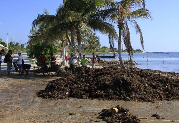 Hay empresas de Campeche, Yucatán y Quintana Roo interesadas en adquirir sargazo. (Ángel Castilla/SIPSE)