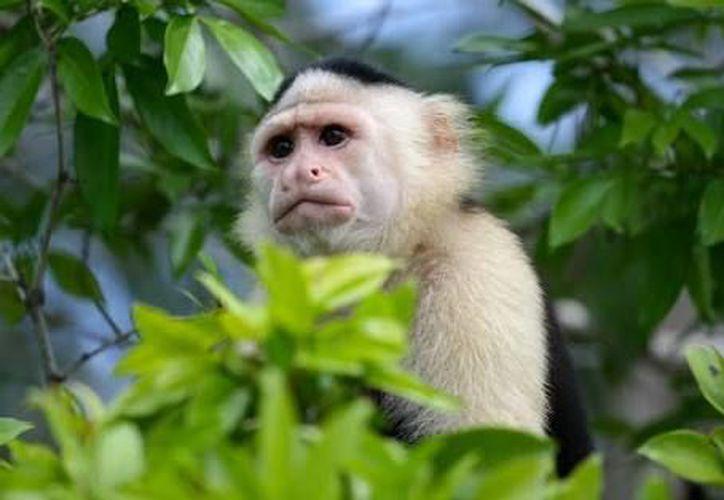 Las autoridades aseguran que es complicado que esta especie de mono pueda sobrevivir en la barranca. (SUUMA_CDMX)
