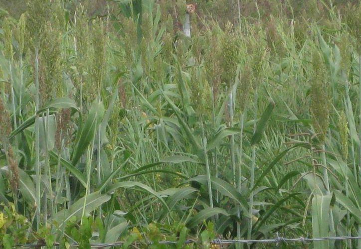La altura del pasto Taiwán es similar a la caña de azucar. (Javier Ortiz/SIPSE)