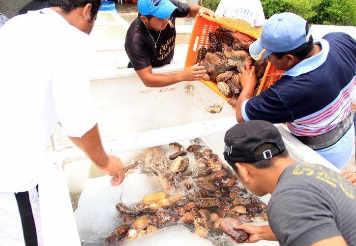 El pepino de mar está en veda, pero a muchos marinos no les importa y salen a pescar. (Milenio Novedades)